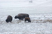 Buffalo_in_the_Frost